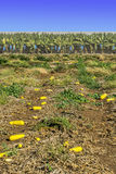 Field with Yellow Squash in Israel Royalty Free Stock Photo