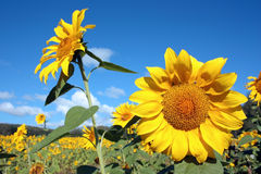A field of yellow sunflowers Royalty Free Stock Photo