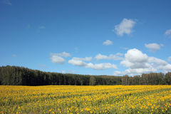 A field of yellow sunflowers Royalty Free Stock Photography
