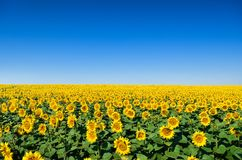 Field of yellow sunflowers against the blue sky royalty free stock photography