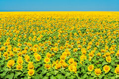 Field of yellow sunflowers on the background of blue sky Royalty Free Stock Images