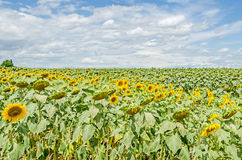 Field of yellow sunflowers, blue clouds sky, countryside, close Stock Photo