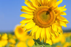 Field of yellow sunflowers. A close-up of a single bright yellow sunflower on a sunflower field, the background is blurred, a field of yellow flowers Royalty Free Stock Image