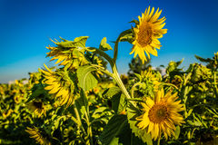 Field of yellow sunflowers Royalty Free Stock Image