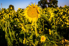 Field of yellow sunflowers Stock Image