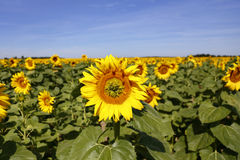 Field of Yellow SunFlowers, Helianthus annuus, south of Paris, France, August 2015 Royalty Free Stock Photo