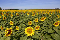 Field of Yellow SunFlowers, Helianthus annuus, south of Paris, Loire Valley, France- shot  August 2015 Royalty Free Stock Image