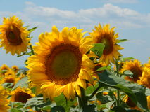 Field of yellow sunflowers in summer Royalty Free Stock Photography