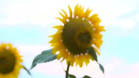 Field of yellow sunflowers. The transition from blur to sharpness stock video