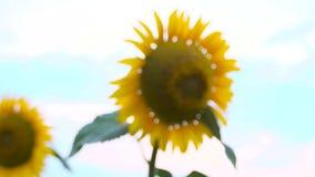 Field of yellow sunflowers stock video