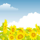 Field of yellow sunflowers under a blue sky Royalty Free Stock Images