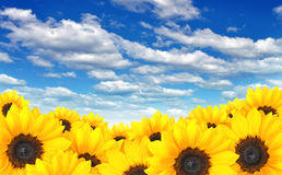 Field of yellow sunflowers under a blue summer sky. Bright sunflower heads catching some sunshine in a farmer's field stock photography