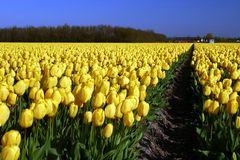 Field of yellow tulips Royalty Free Stock Image