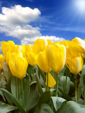 Field of yellow tulips. In beautiful sky background with sunrays Royalty Free Stock Photo