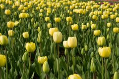 Field of yellow tulips. Spring field of yellow tulips royalty free stock photo