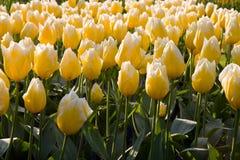 Field of yellow tulips Stock Photos