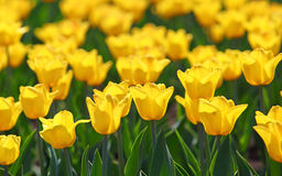Field of yellow tulips blooming Royalty Free Stock Images
