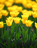 Field of yellow tulips blooming Royalty Free Stock Photography