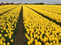 Field of yellow tulips. Blooming in sunny farm Royalty Free Stock Photography