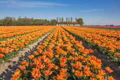 Field of  yellow tulips and a farm Royalty Free Stock Photos
