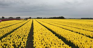 Field of yellow tulips. Farm field with yellow tulips on sunny day Stock Image
