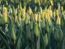 Field of yellow tulips Stock Image