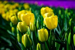 Field of yellow tulips in Holland , spring time colourful flowers. Keukenhof park stock photos