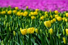 Field of yellow tulips in Holland , spring time colourful flowers. Keukenhof park stock photo