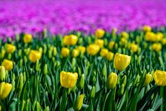 Field of yellow tulips in Holland , spring time colourful flowers. Keukenhof park royalty free stock photos