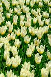 Field of yellow tulips in Holland , spring time flowers in Keukenhof. Field of yellow tulips in Holland , spring time flowers stock image