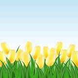 Field of yellow tulips. On the infinite horizon Stock Photos