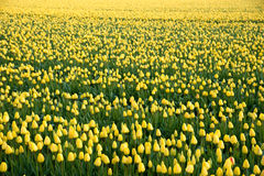 Field with yellow tulips Royalty Free Stock Photography