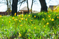 Field of yellow tulips Stock Photography