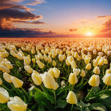 Field of yellow tulips at sunset Stock Photos