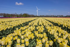 Field of yellow tulips and a wind turbine Stock Images
