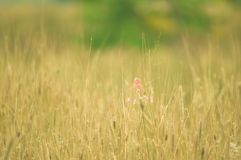 Field yellow Vintage grass Stock Photos