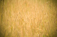 Field yellow Vintage grass Royalty Free Stock Images