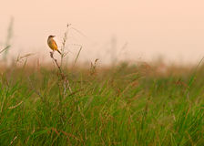 Field yellow Wagtail bird sitting on a branch in the green grass Stock Photo