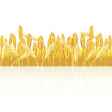 Field with yellow wheat and reflection. On a white background Royalty Free Stock Photo