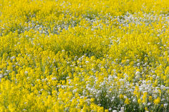 Field of yellow and white flowers. Fragment of a huge field overgrown with white and yellow flowers stock photography