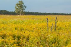 Field with yellow wild flowers on the meadow, sunny day. Stock Images