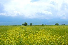 Field of yellow wild flowers in the mountains royalty free stock images