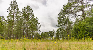 Field of yellow wild flowers Stock Images