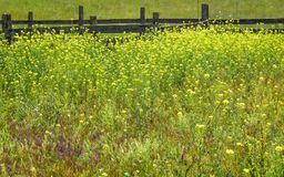 Field of Yellow Wildflowers by Fence Royalty Free Stock Photos