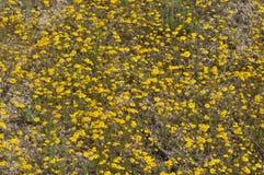 Field of Yellow Wildflowers in Full Bloom on Desert Floor Royalty Free Stock Photos