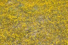 Field of Yellow Wildflowers in Full Bloom on Desert Floor Royalty Free Stock Photo
