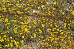 Field of Yellow Wildflowers in Full Bloom on Desert Floor Stock Photography