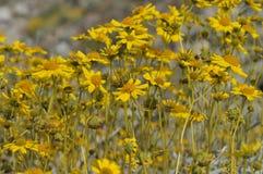 Field of Yellow Wildflowers in Full Bloom on Desert Floor Royalty Free Stock Image