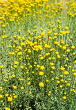 Field Of Yellow Wildflowers Royalty Free Stock Photos