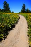 Field of Yellow Wildflowers and Trail Stock Images
